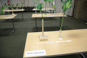 UNYHS Cut Leaf Show table with Section I Giant Leaved